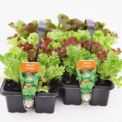 Lettuce 10 Packs