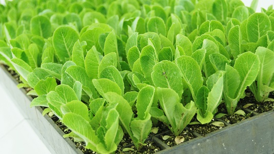 Close-up of 198 Tray Seedling Plugs
