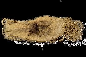 Leopard Catshark (Poroderma pantherinum) eggcase