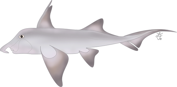 St. Joseph / Cape Elephantfish(Callorhinchus capensis)