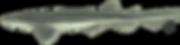 Pyjama shark / Striped catshark(Poroderma africanum)