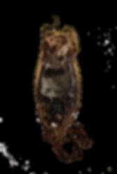 Pyjama Shark (Poroderma africanum) eggcase