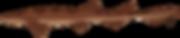 Brown shyshark / Plain Happy (Haploblepharus fuscus) © Lena Freund