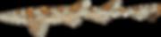Puffadder shyshark / Happy Eddie (Haploblepharus edwardsii)