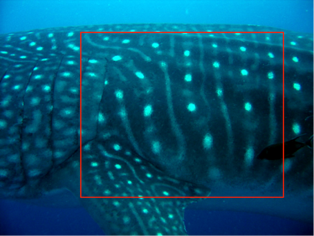 The Low Down on Whale Sharks