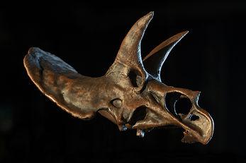 TriceratopsScan3dpict copie.jpg