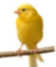 canary_edited.jpg