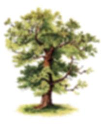 Oak-Tree-Clipart-Color-GraphicsFairy.jpg