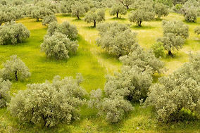 Olive trees and colored grass at Samaria