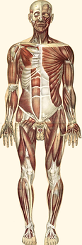 view of anterior muscles