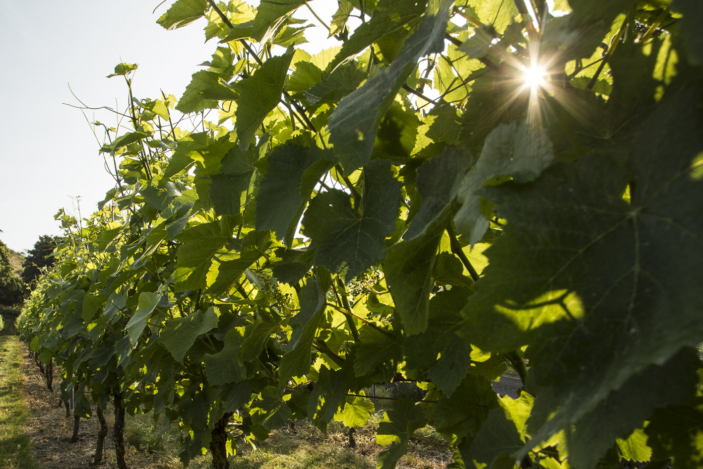 Sun through the vines