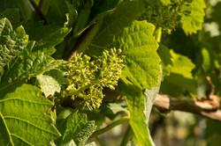 East Meon Vineyard flowers