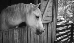 horse-1042388_edited