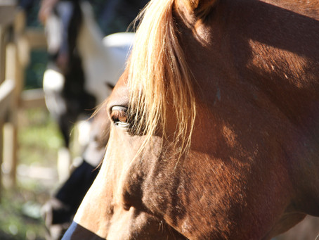 'She's faking lameness to get out of work.' Horse Behavior Myth #5