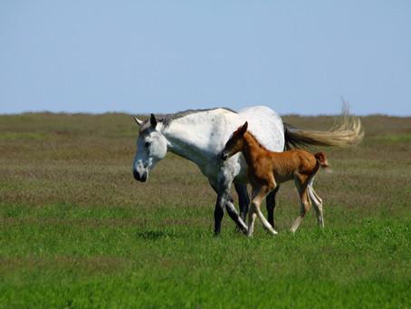 Imprinting Foals