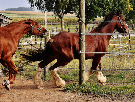 Aggressive Horses: Causes and Cures