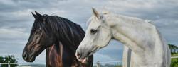 horses-5450917