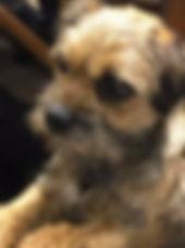 Stolen Border Terrier Beetle