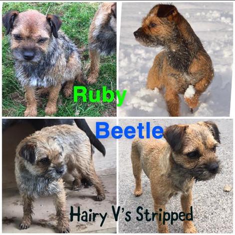 ruby beetle hairt vs stripped.jpg
