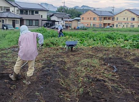 カボチャの収穫と撤収 4日目