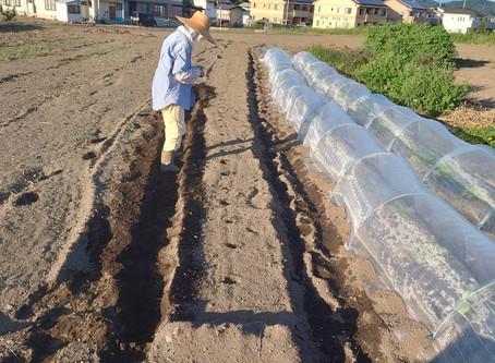 三太郎大根の種まき