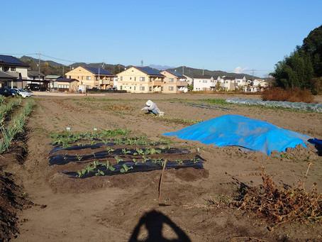 摘み菜定植とヤツガシラ試し掘り