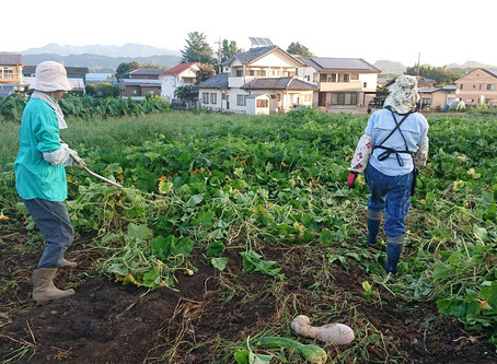 カボチャの収穫と撤収 3日目