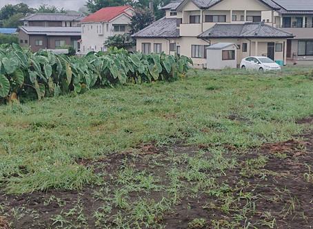 大根予定畑の草刈り、完了しました。