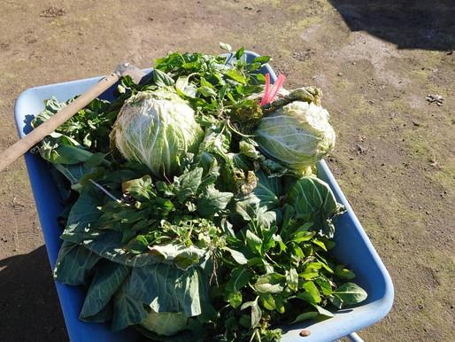 子ども食堂用の野菜収穫