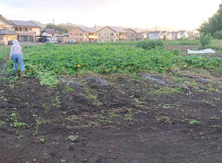 カボチャの収穫と撤収 2日目