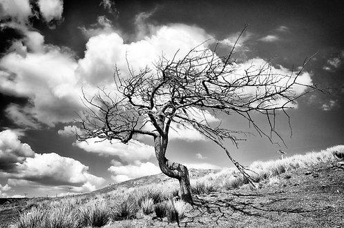 Cleascro Tree 1BW