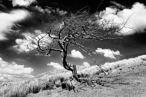 Cleascro Tree 2BW