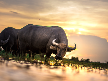 6 Unknown Water Buffalo Milk Benefits