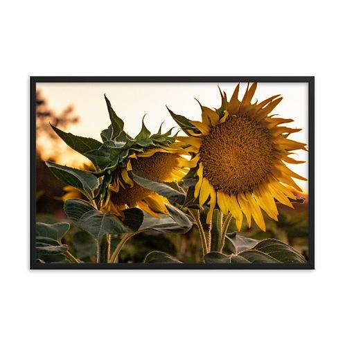 Sunflower - Pirque, Chile