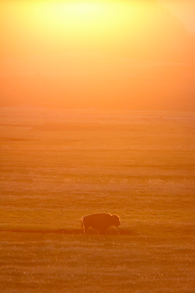 Bison at Sundown