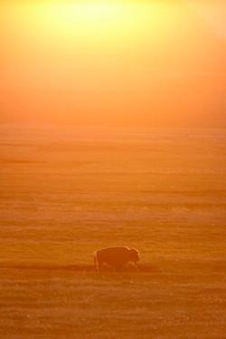 Bison at Sundown
