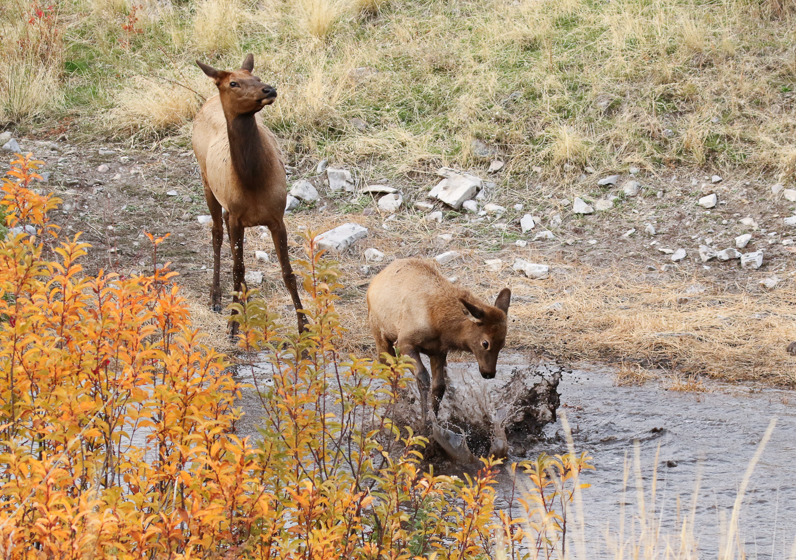 Cow Elk and Yearling