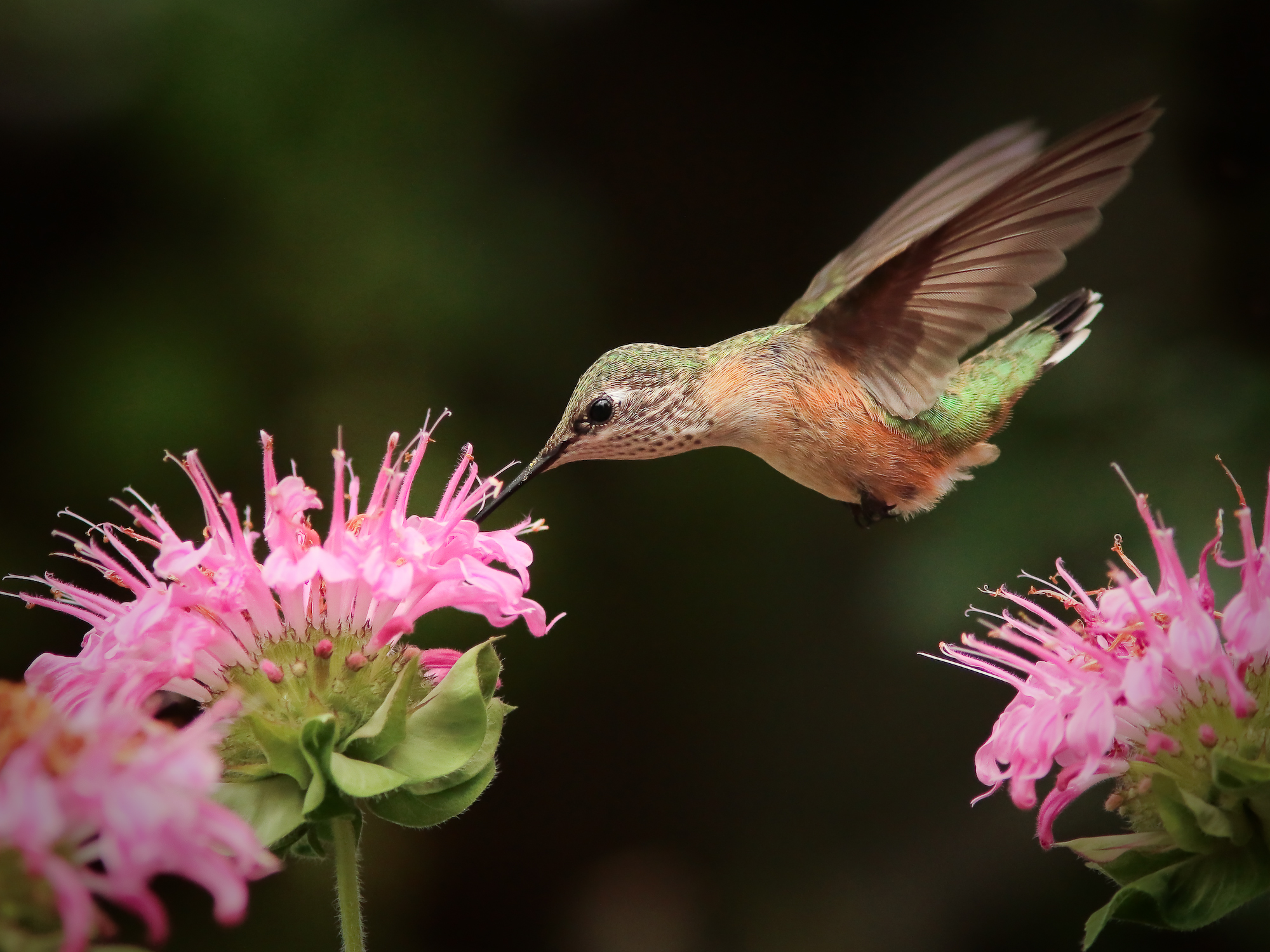 Calliope Hummingbird (f)