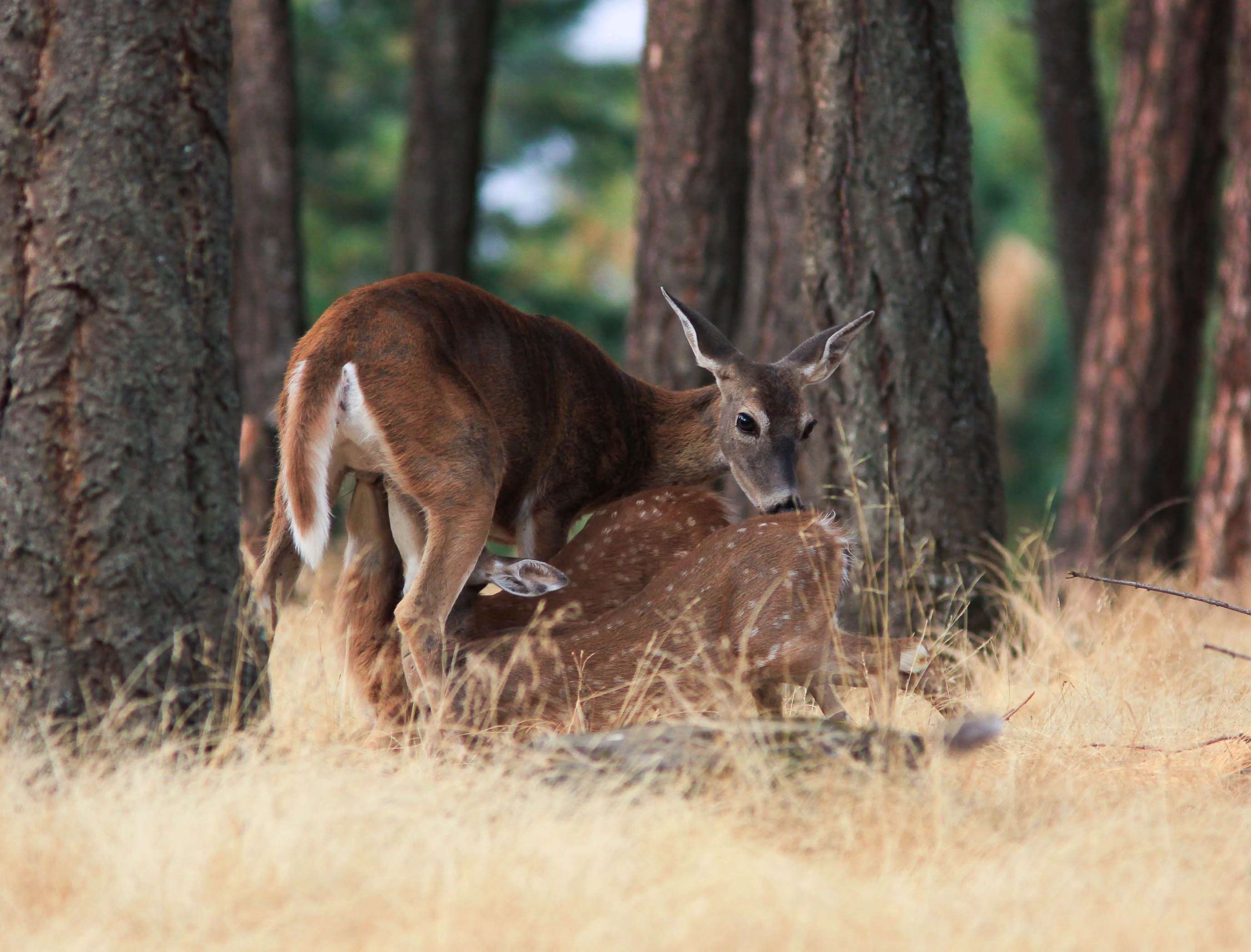 White-tailed Deer and Fawns