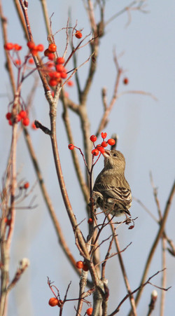 House Finch (f)