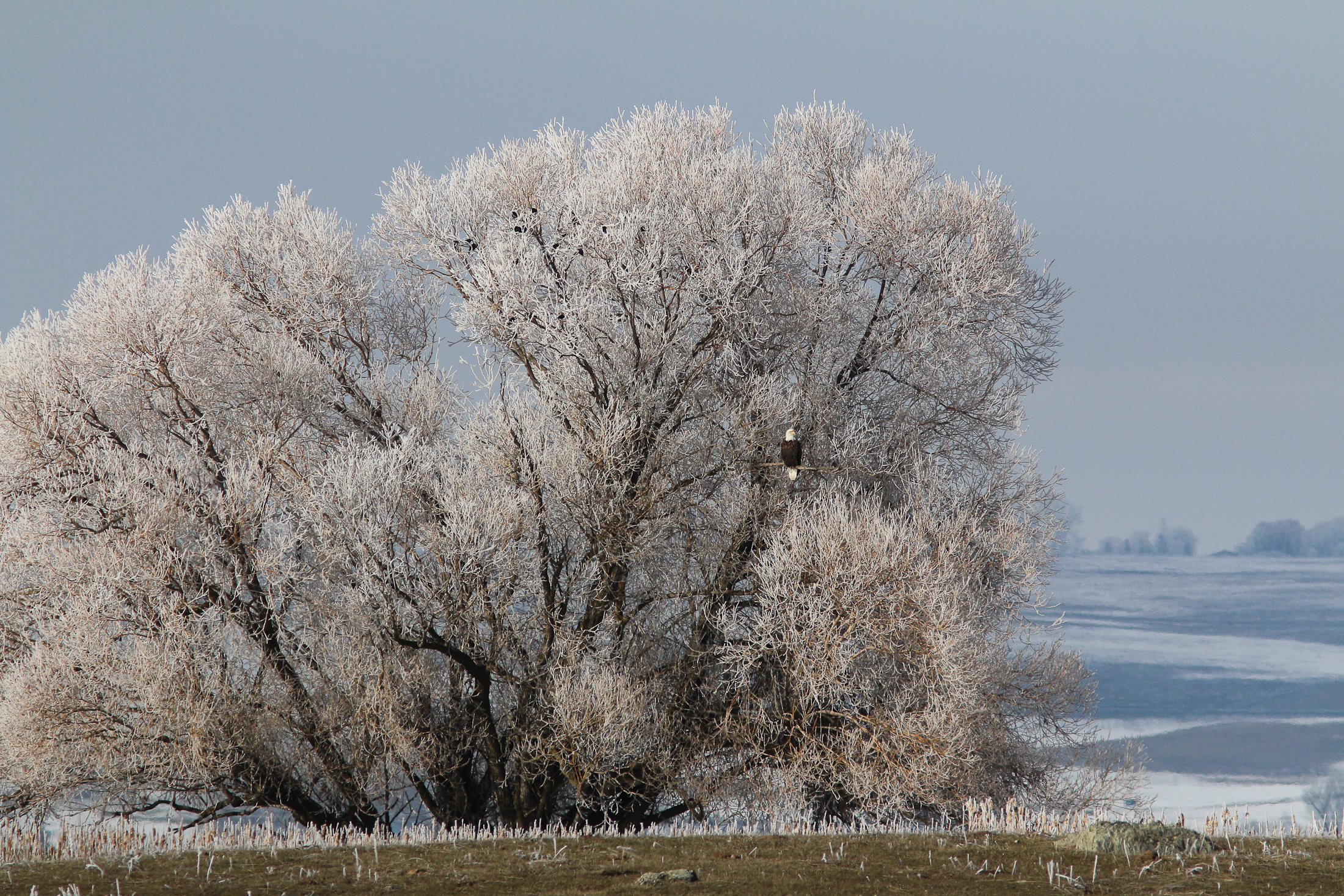 Bald Eagle and Frost