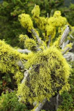 High Country Moss