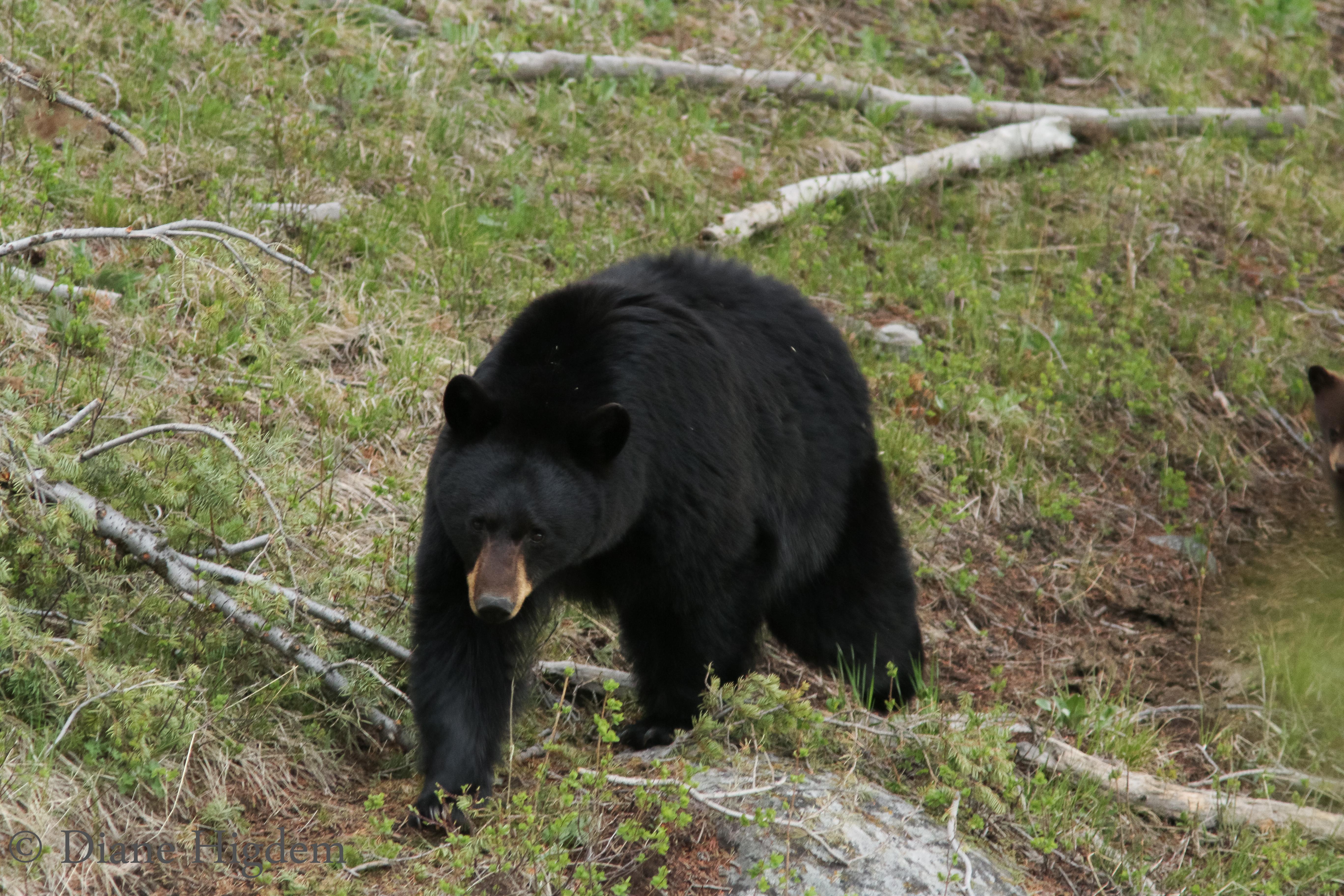 Black Bear (f)
