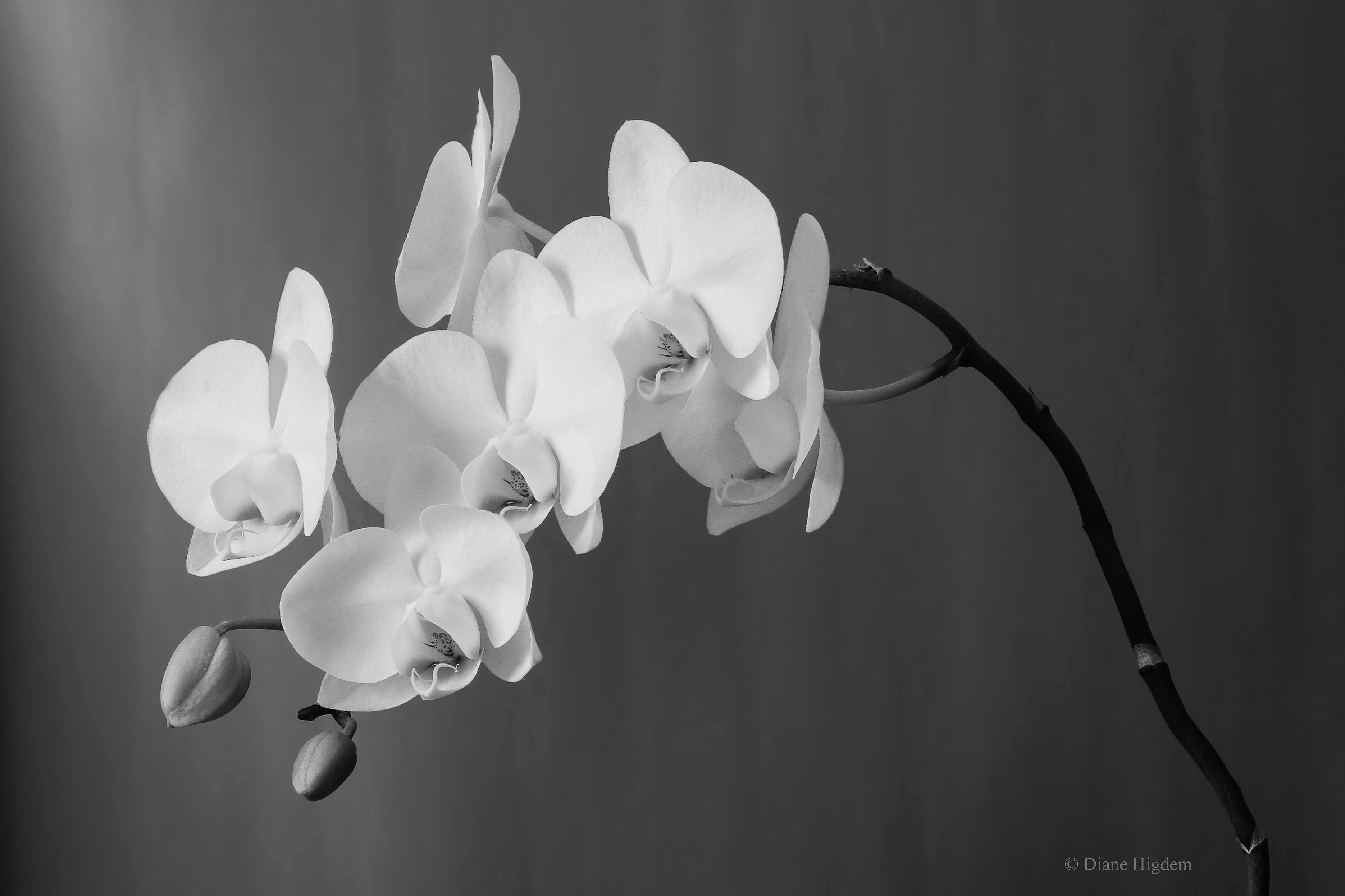 Orchid (b&w)