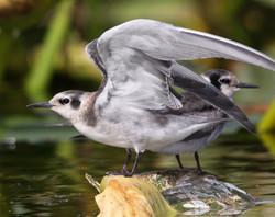 Black Tern (f)