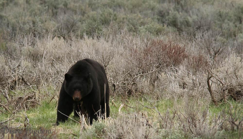 Black Bear