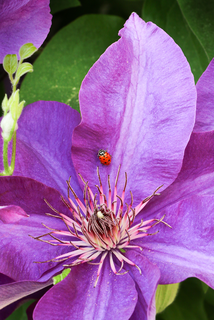 Clematis and Ladybug