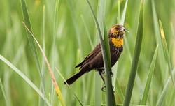 Yellow-headed Blackbird (f)