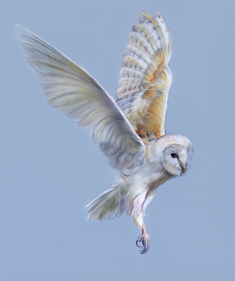 Lucinda Coldrey Barn Owl