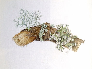Sally Pond Lichen